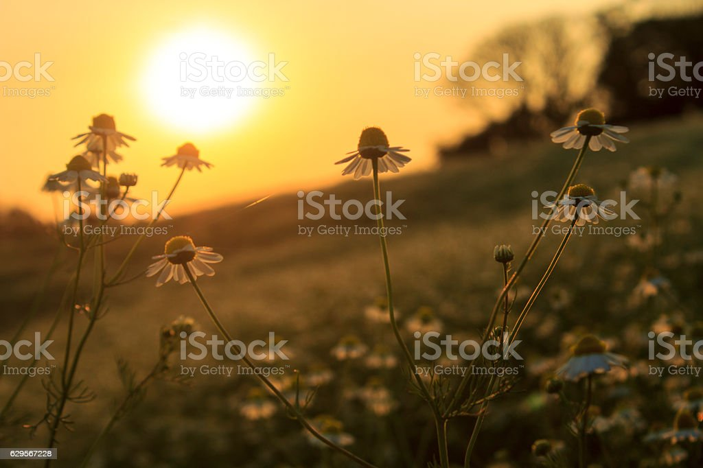 Chamomiles at the sunset stock photo