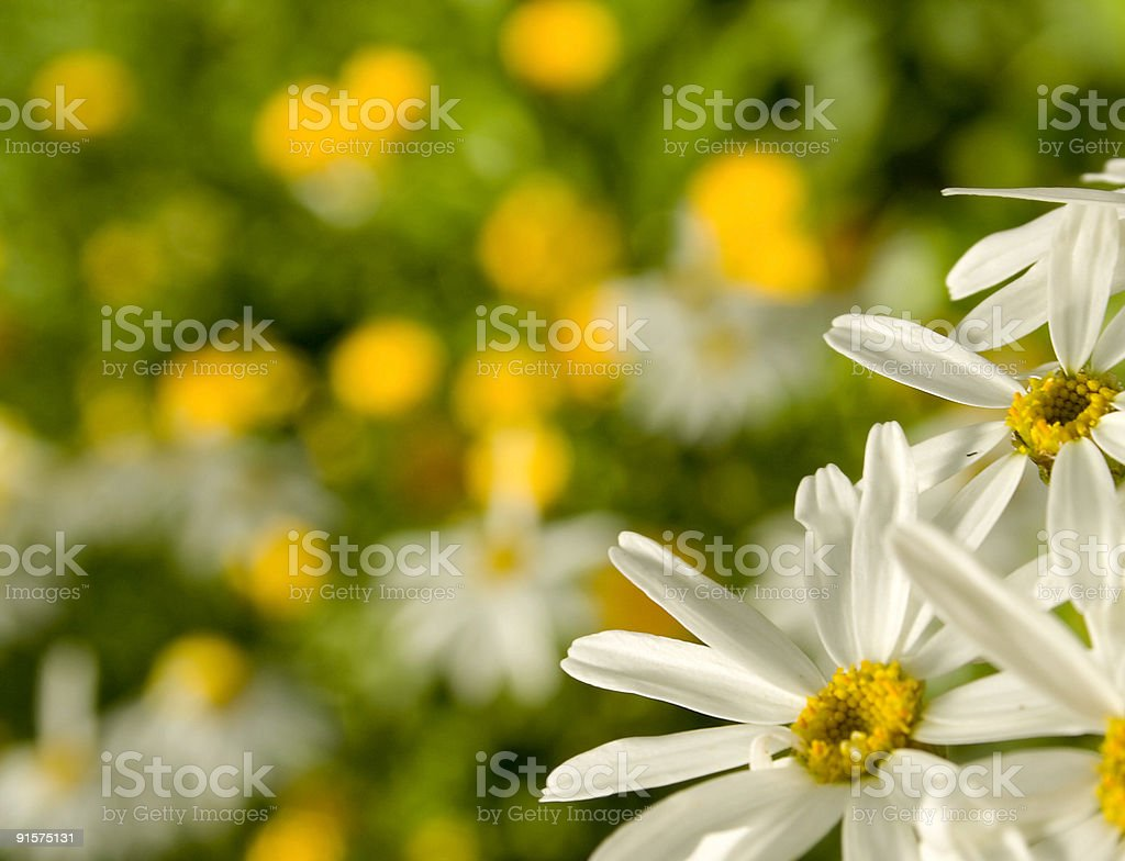 chamomiles in garden royalty-free stock photo