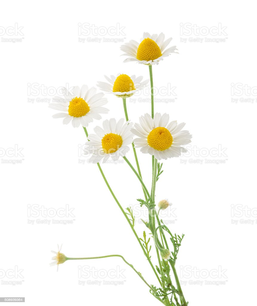 Chamomiles isolated on white background. cutout stock photo