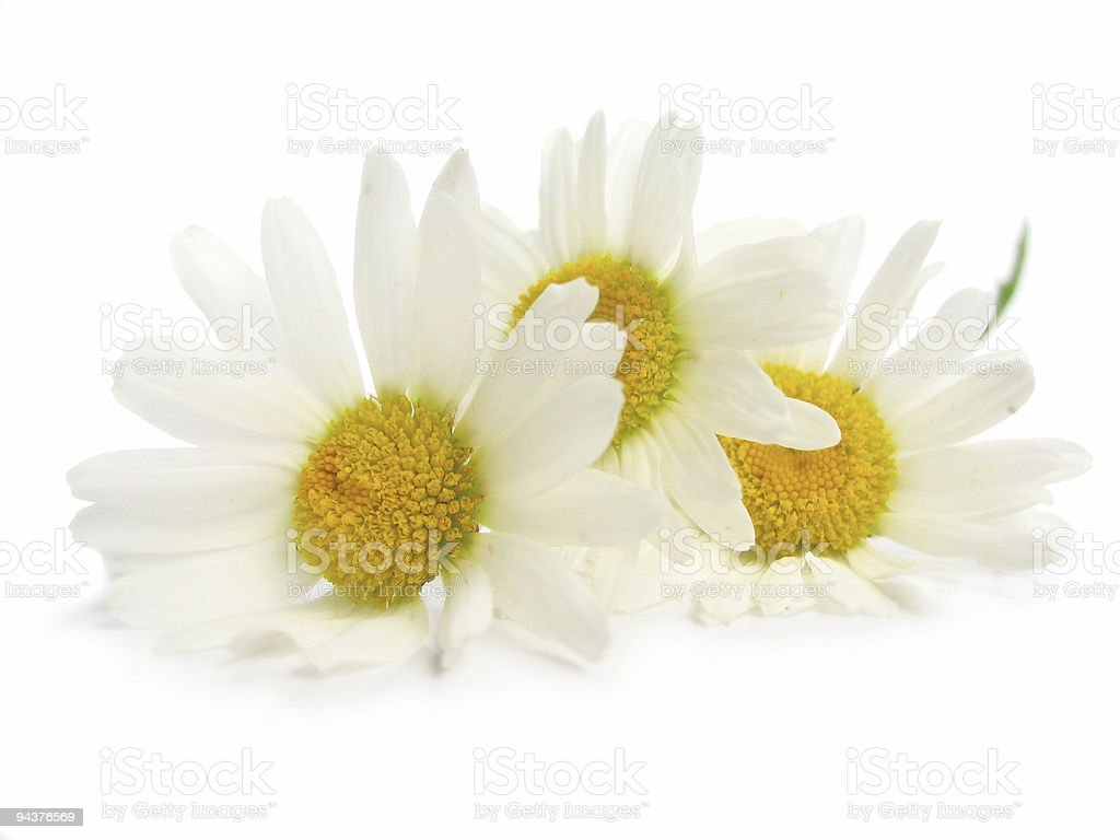 Chamomiles on white background stock photo
