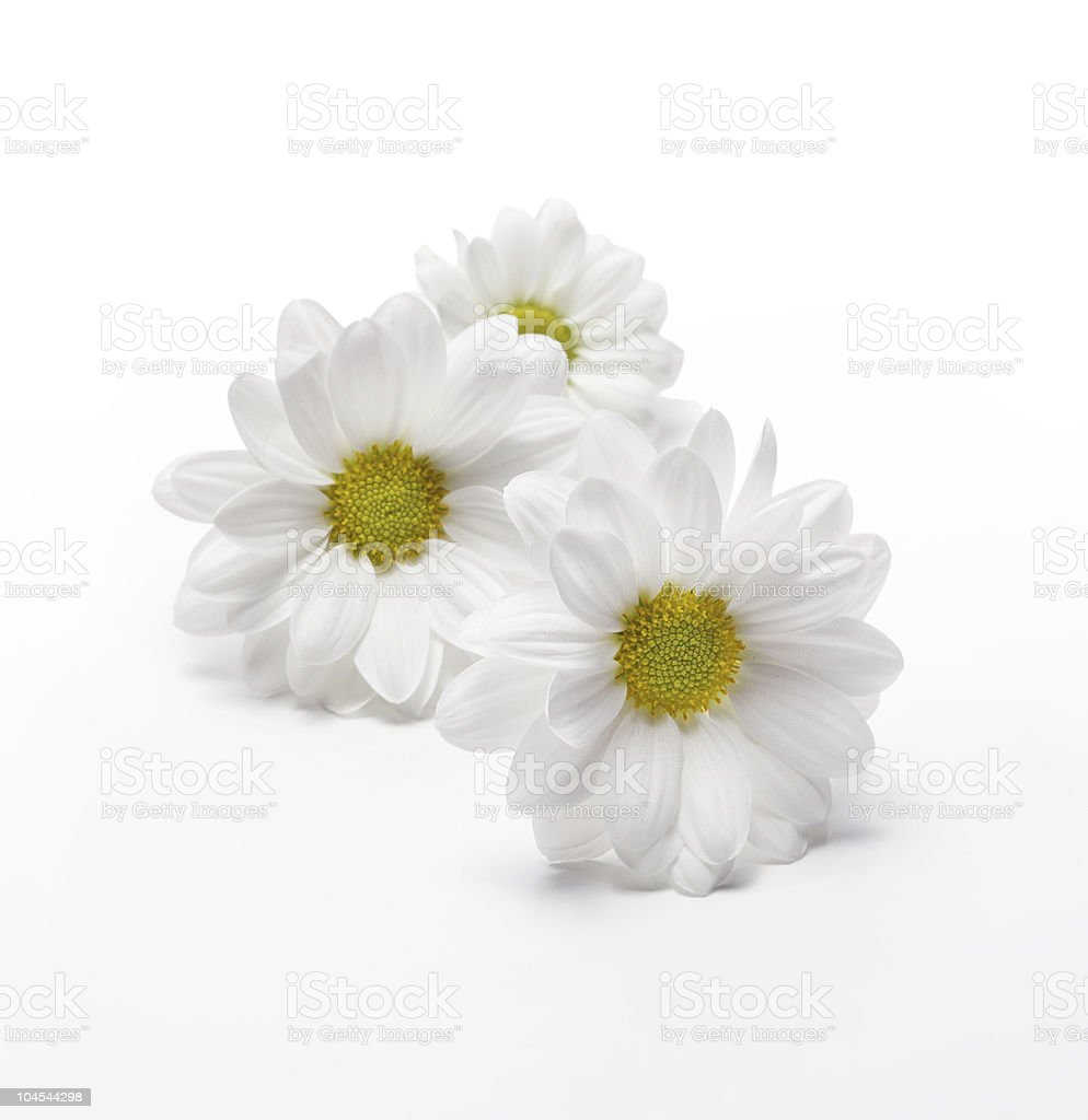 chamomiles on white royalty-free stock photo