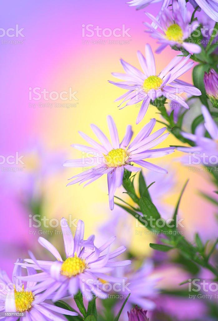 chamomiles royalty-free stock photo