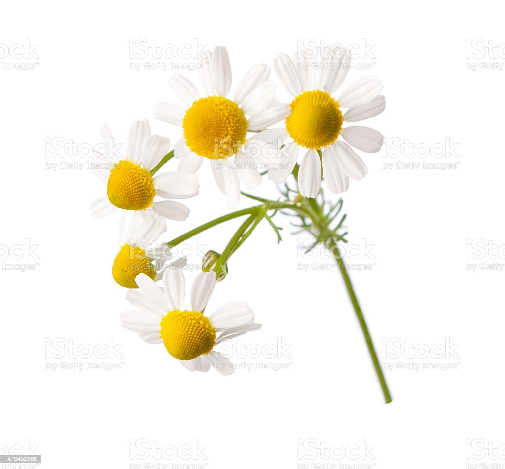 Chamomiles stock photo