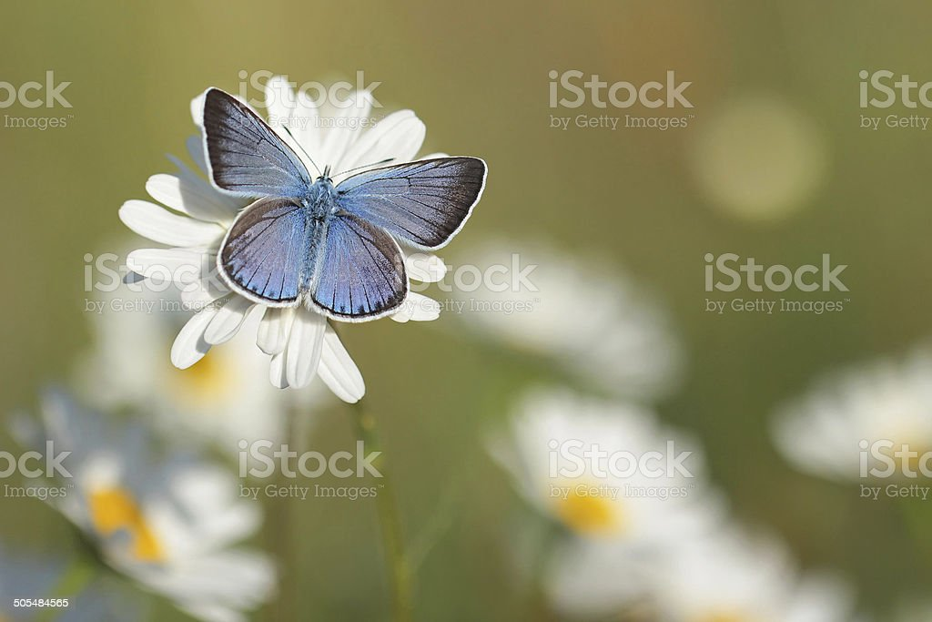 Chamomiles with Butterfly stock photo