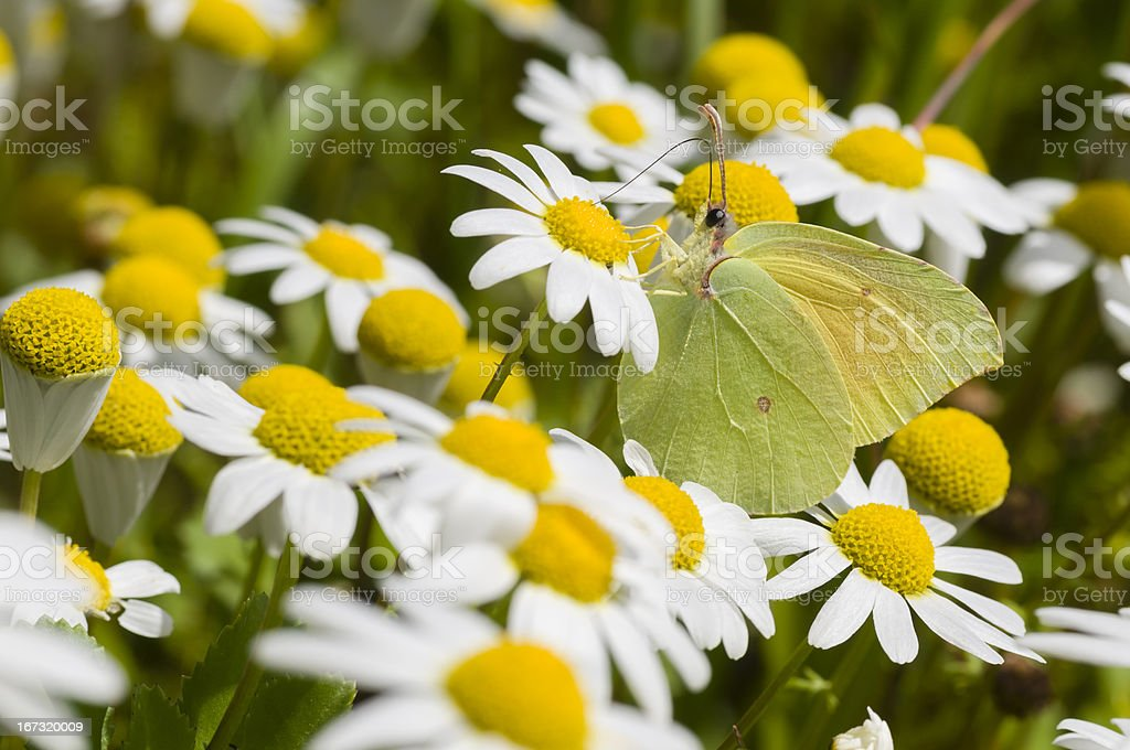 Chamomille flower field with butterfly stock photo