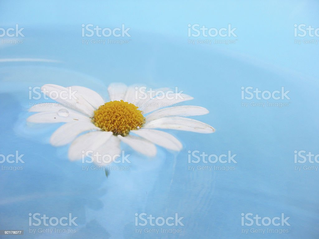 chamomille royalty-free stock photo