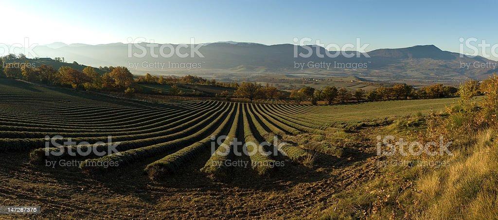 champ de lavande en automne royalty-free stock photo