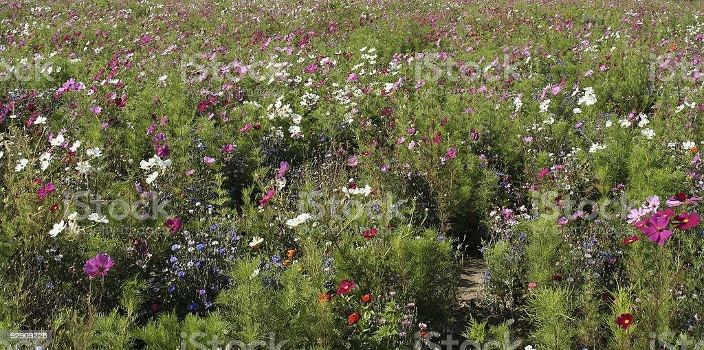 champ fleuri stock photo