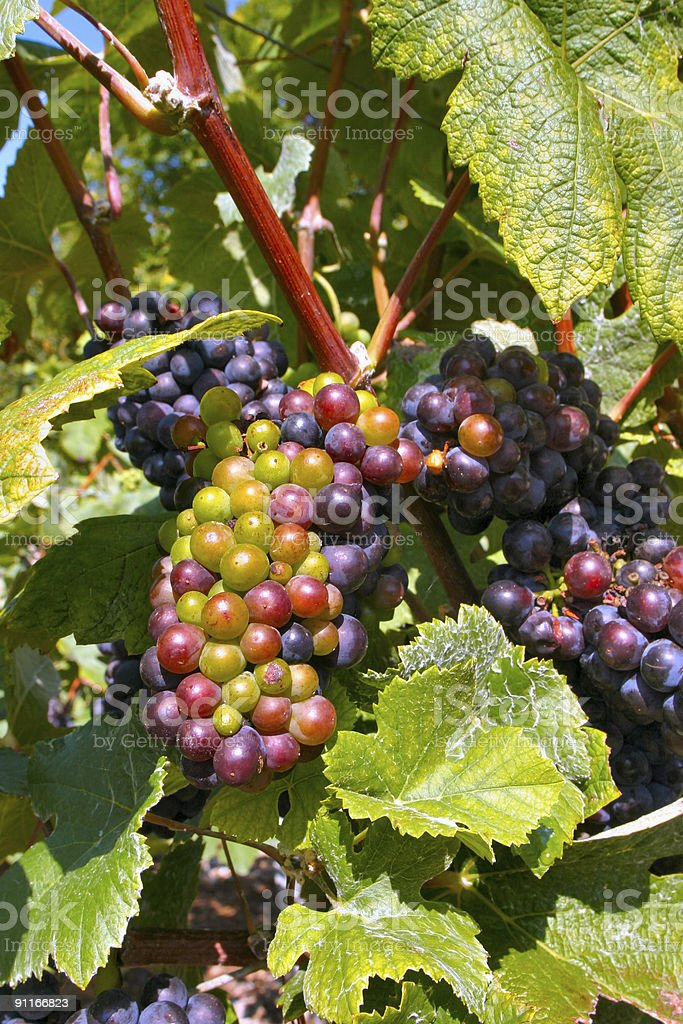 Champagne Grapes royalty-free stock photo