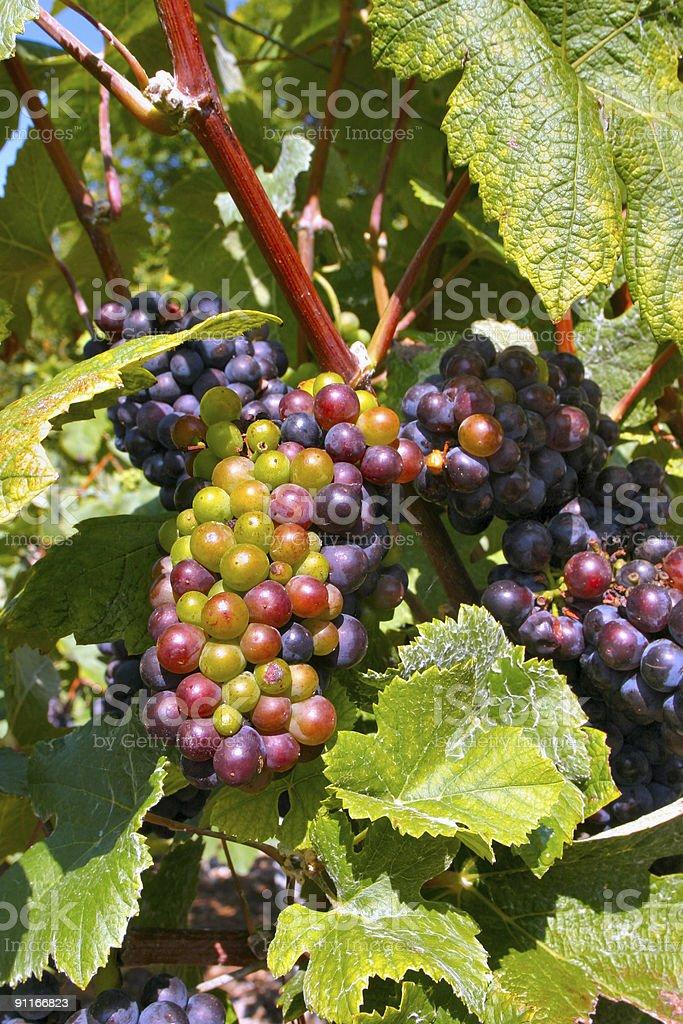 Champagne Grapes stock photo