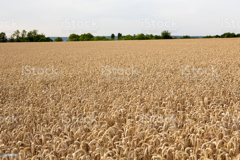 Champagne Region of France, Summer in Europe Wheat Crop stock photo