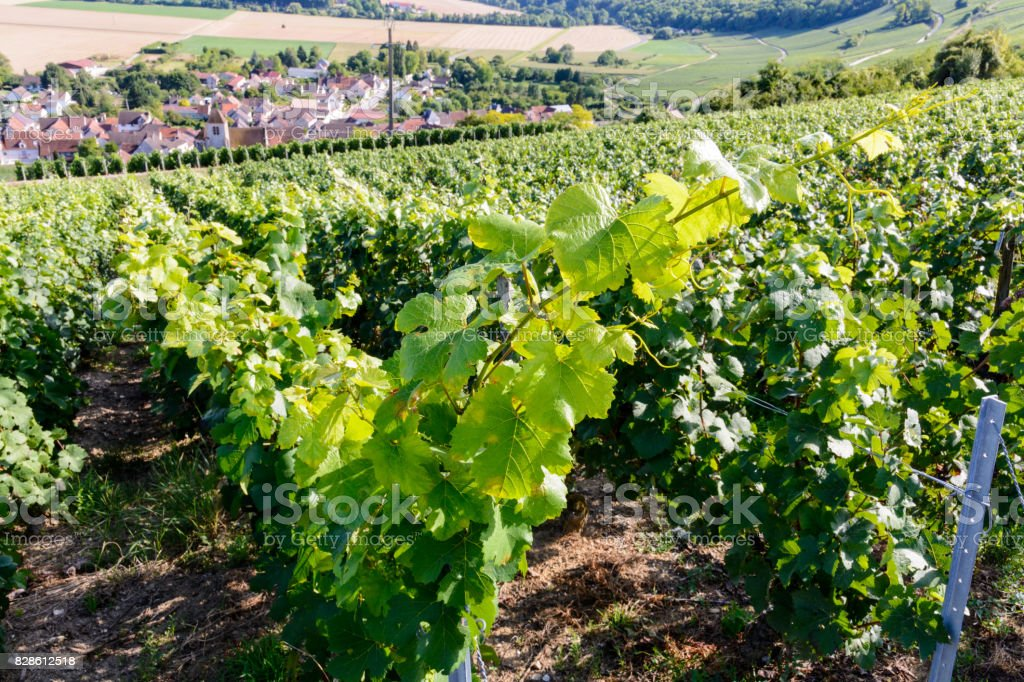 Champagne vineyard at sunset stock photo