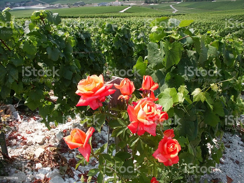 champagne vineyards stock photo