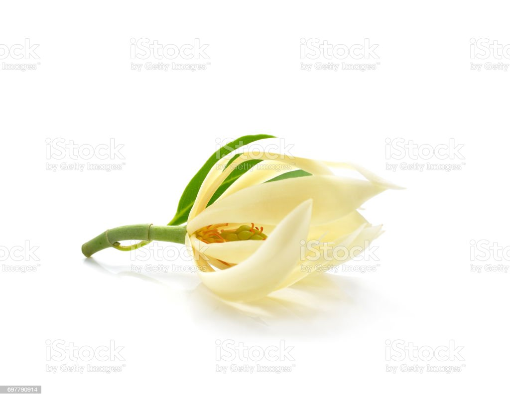 Champee Thai Flowers on white backgrounds stock photo