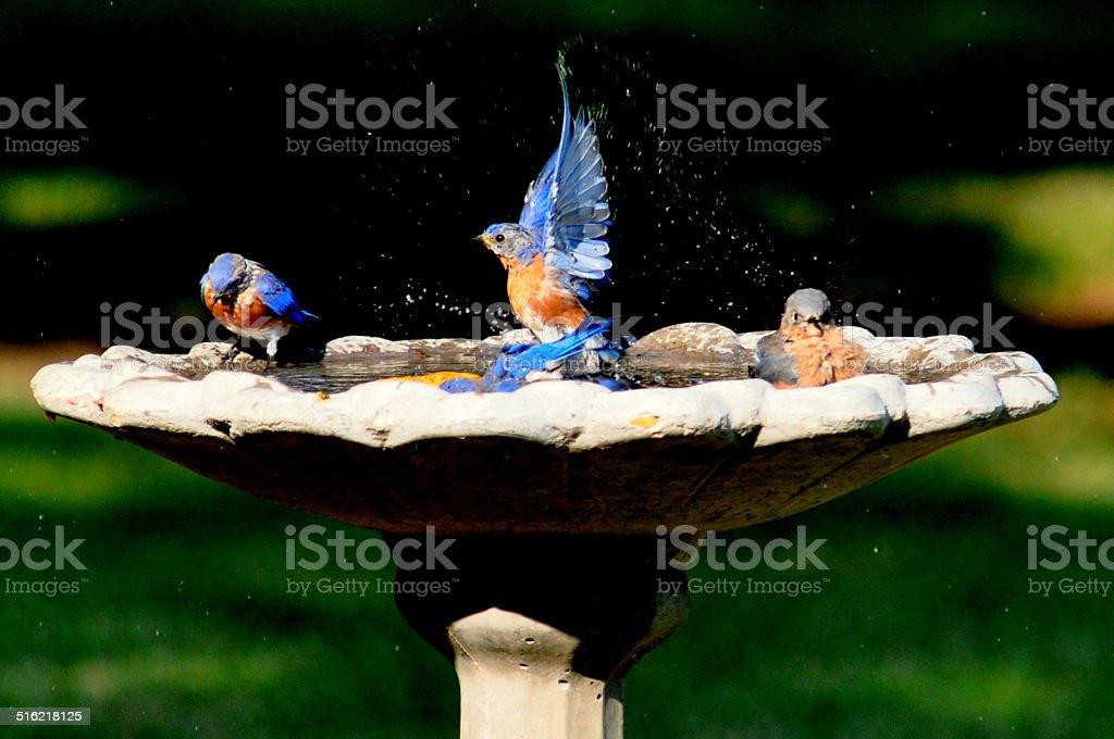Champion Bluebird foto de stock libre de derechos