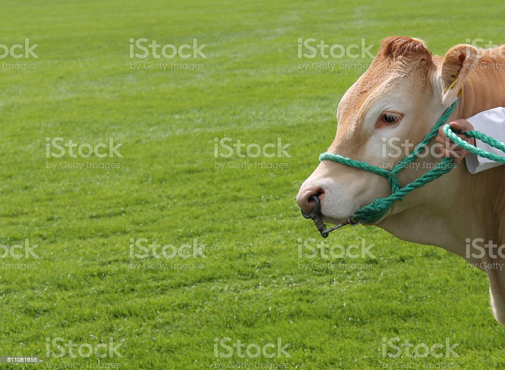 Champion Farm Bull. stock photo