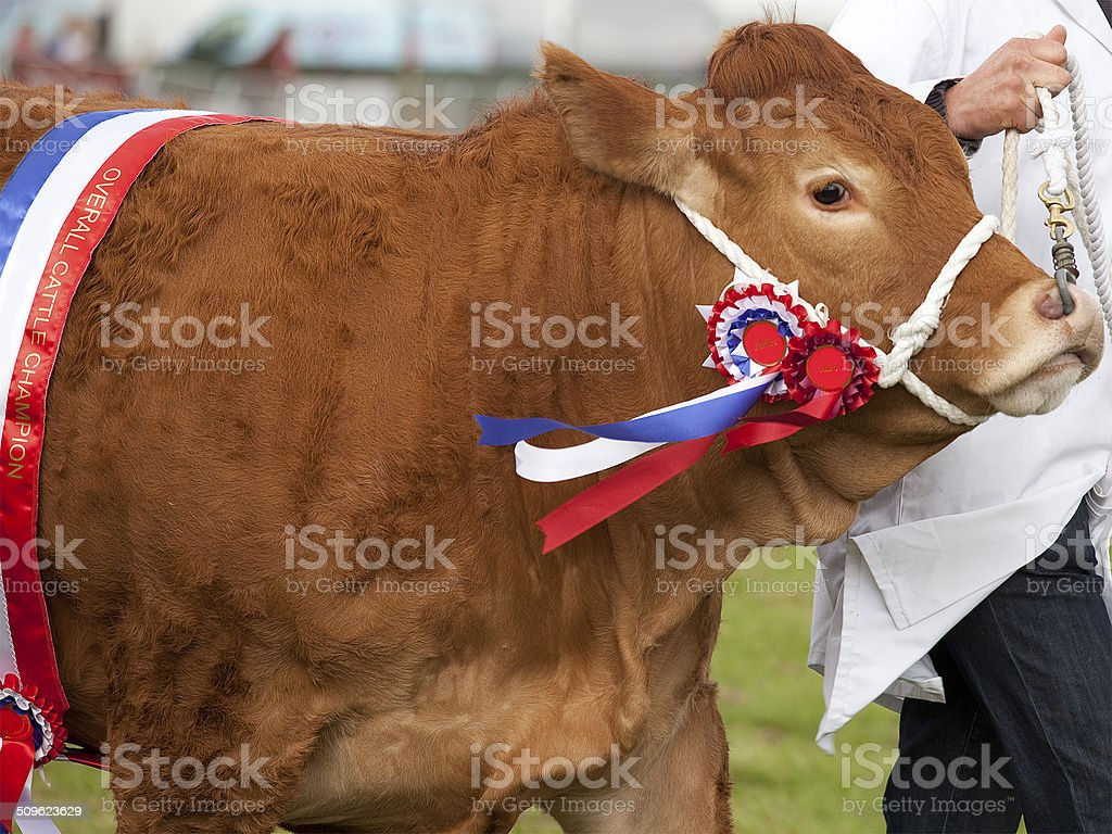 Champion Limousin Cow at an Agricultural Show stock photo