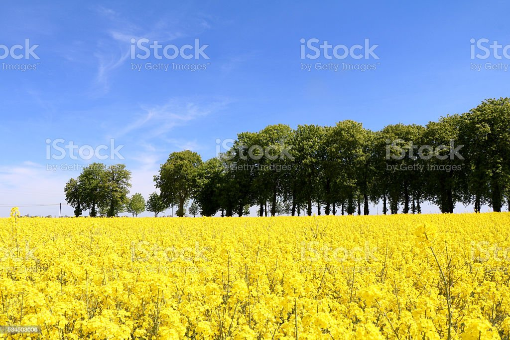 Champs de fleurs colza et rangée d'arbres en été stock photo
