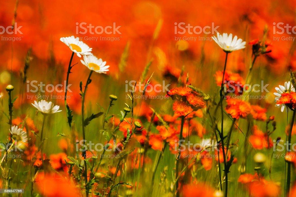 Champs de fleurs sauvages stock photo