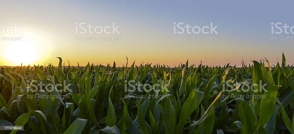 Champs de maïs stock photo