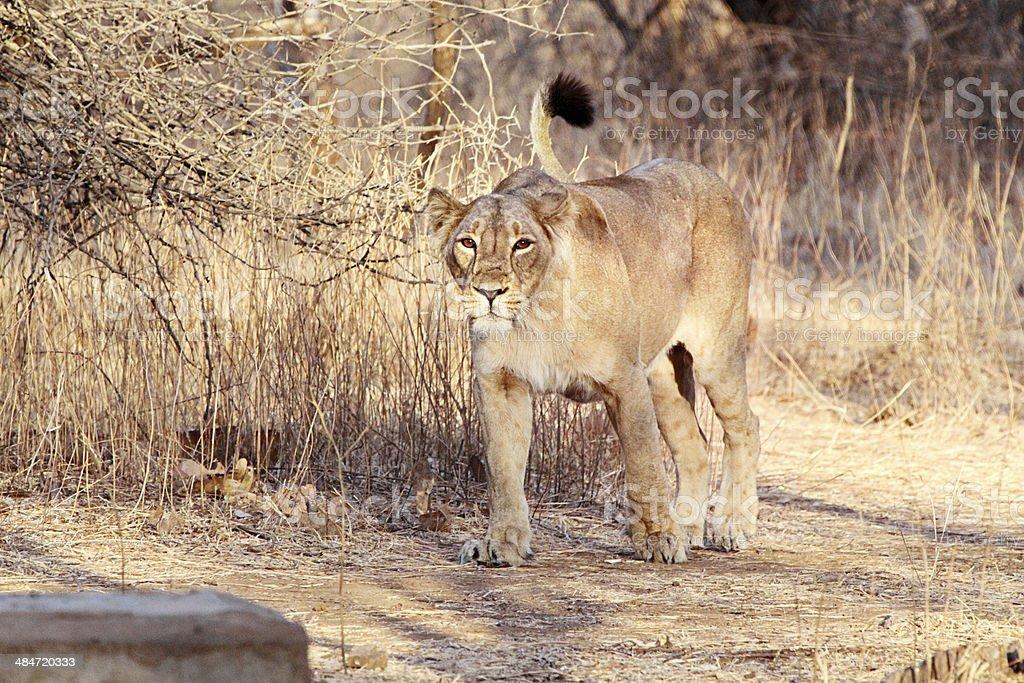 Chandni - The Lioness stock photo