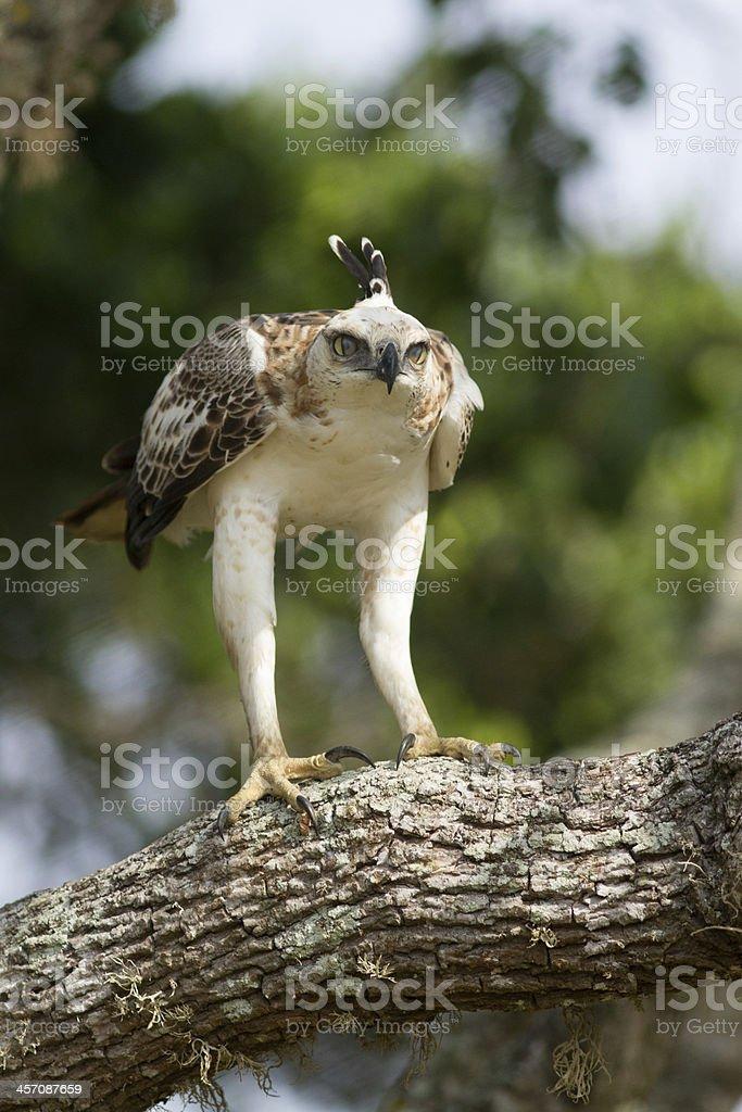 Changable Hawk-Eagle (Nisaetus Cirrhatus) stock photo