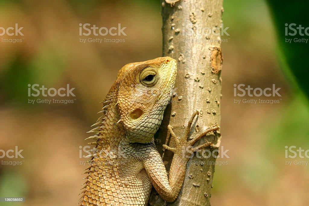 Changable Lizard stock photo
