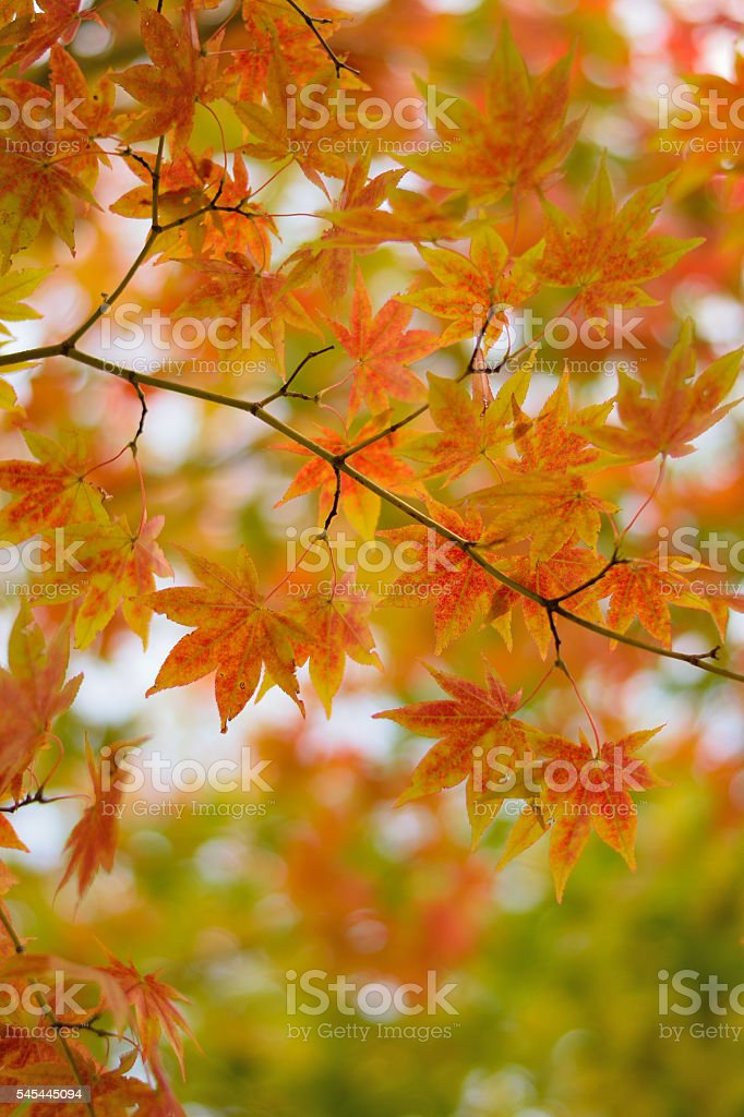 Changing color maple leaf in natural background stock photo