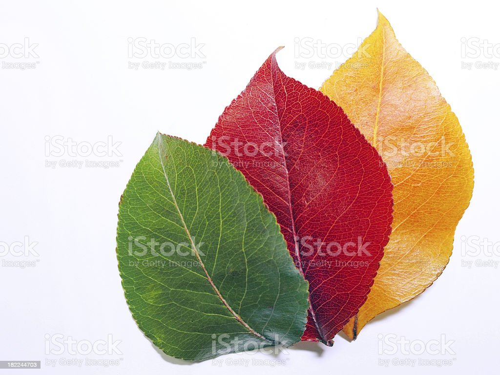 Changer de couleurs des feuilles d'automne montrant vert, rouge et jaune photo libre de droits