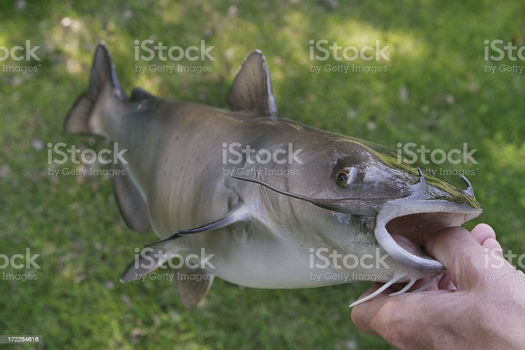 Channel Catfish stock photo