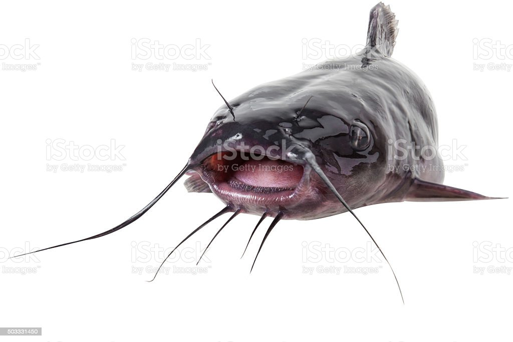 Channel catfish stock photo