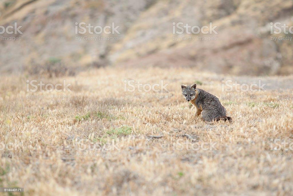 Channel Island Fox stock photo