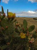 Channel Islands Cactus Flower