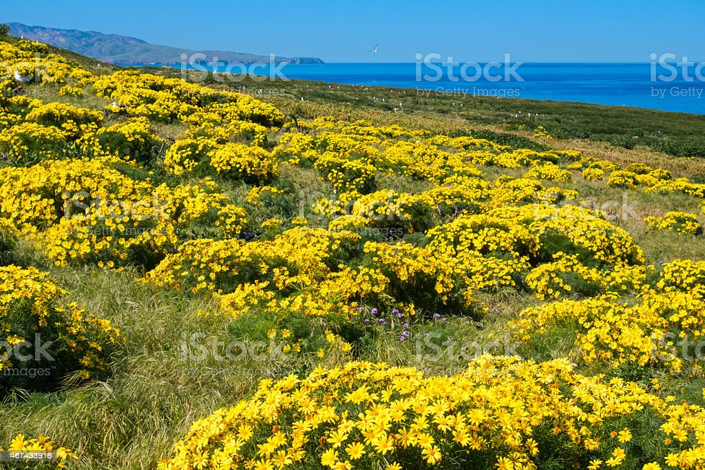 Channel Islands National Park Yellow Flower Meadow, California stock photo