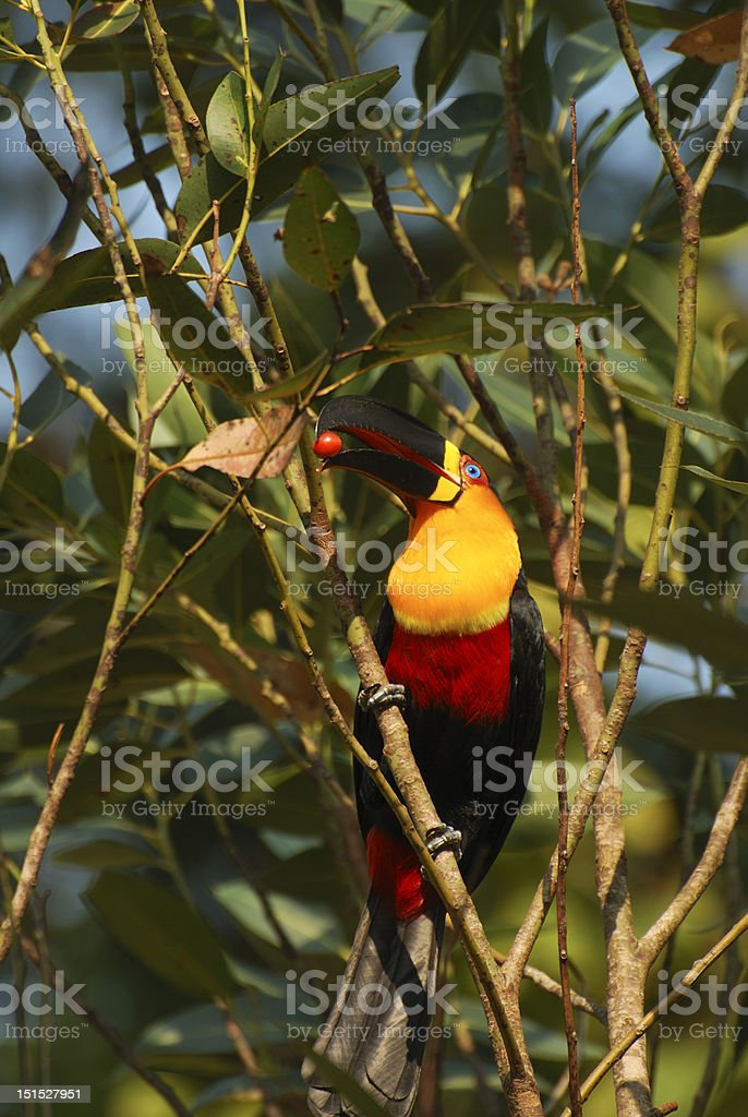 Channel-billed toucan with red fruit on beak stock photo