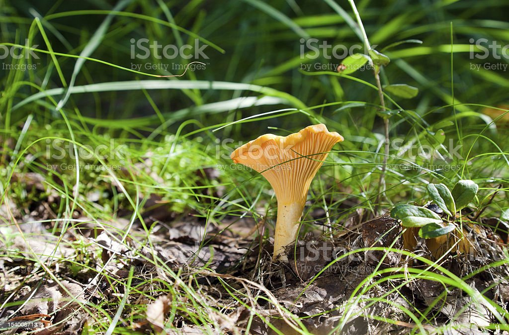 Chanterelle in the grass royalty-free stock photo