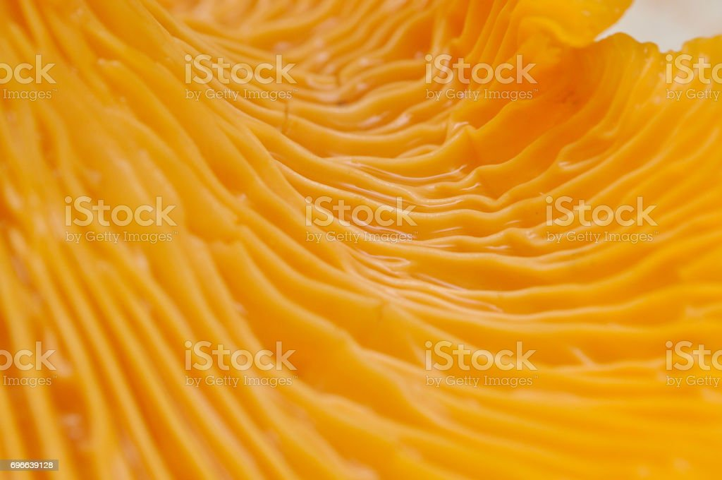 Chanterelle lamella close up. stock photo