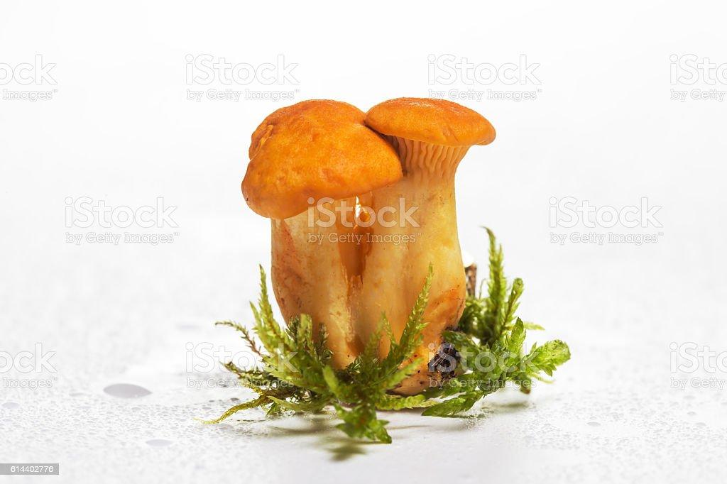 Chanterelle mushroom on a white background stock photo