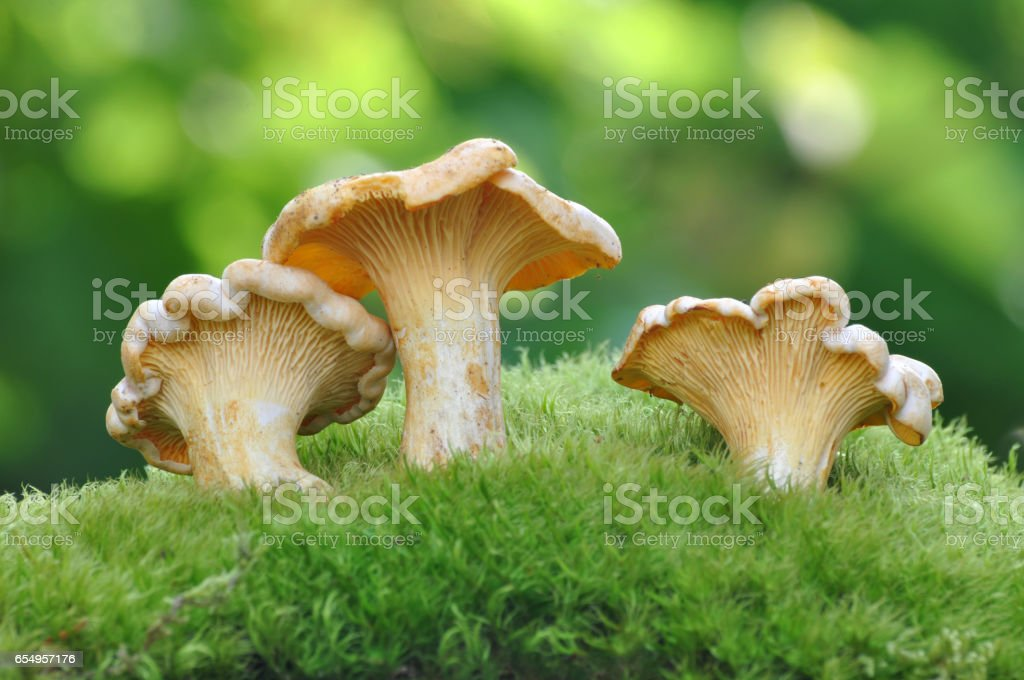 Chanterelle Mushroom stock photo