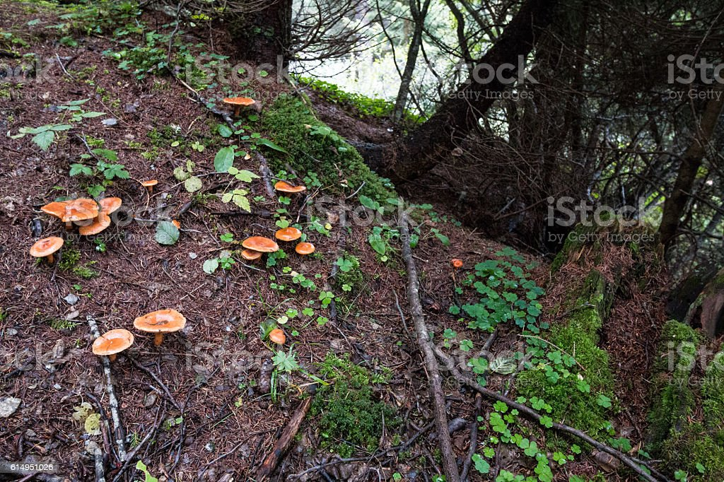 Chanterelle mushrooms in mountain forest stock photo