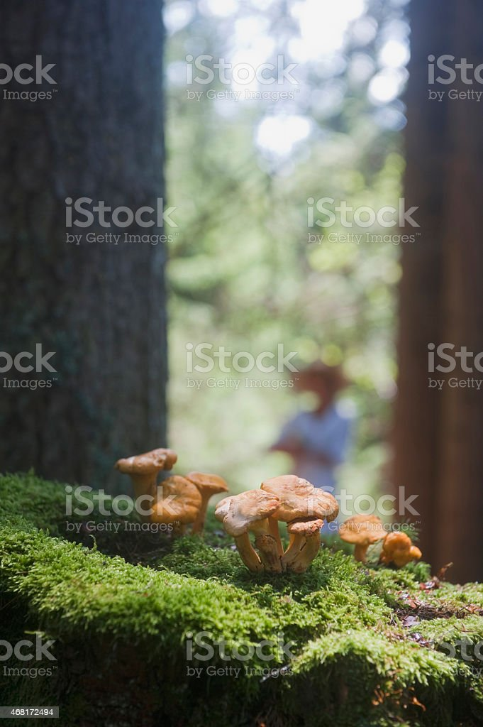 Chanterelle mushrooms,close up stock photo