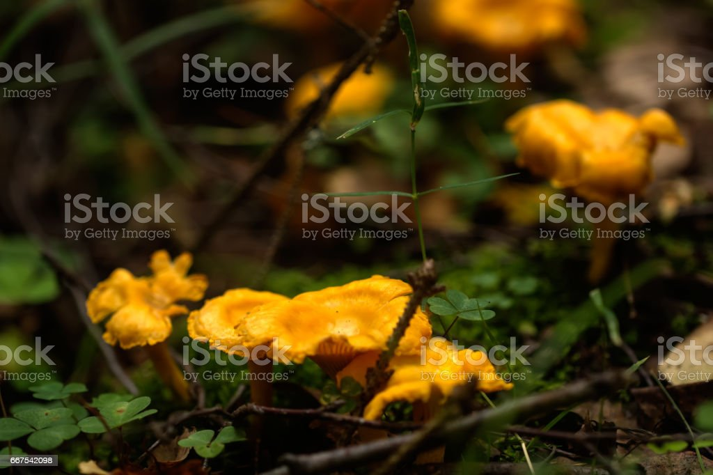 Chanterelle. Summer forest. stock photo