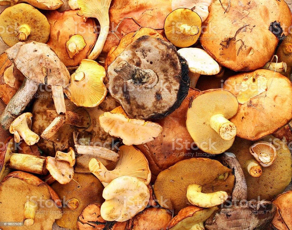 Chanterelle, yellow and red boletus, aspen and birch mushroom stock photo