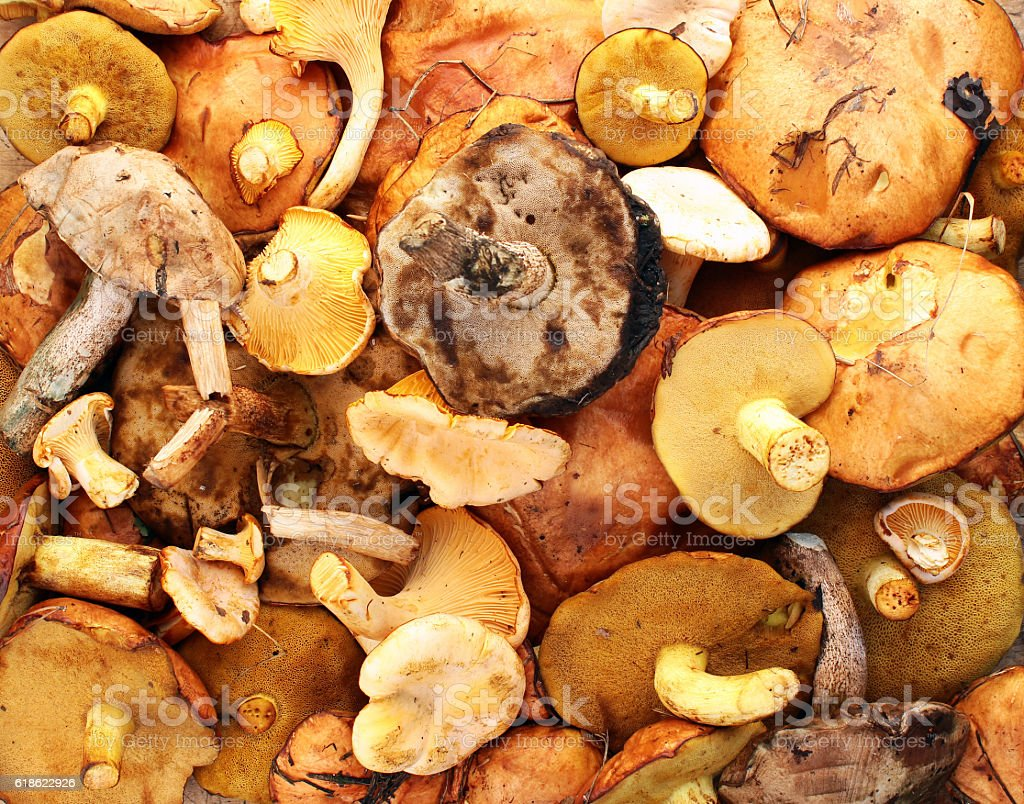 Chanterelle, yellow and red boletus, aspen and birch mushroom stock photo
