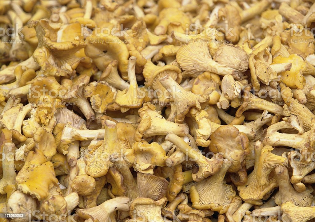 chanterelles background royalty-free stock photo