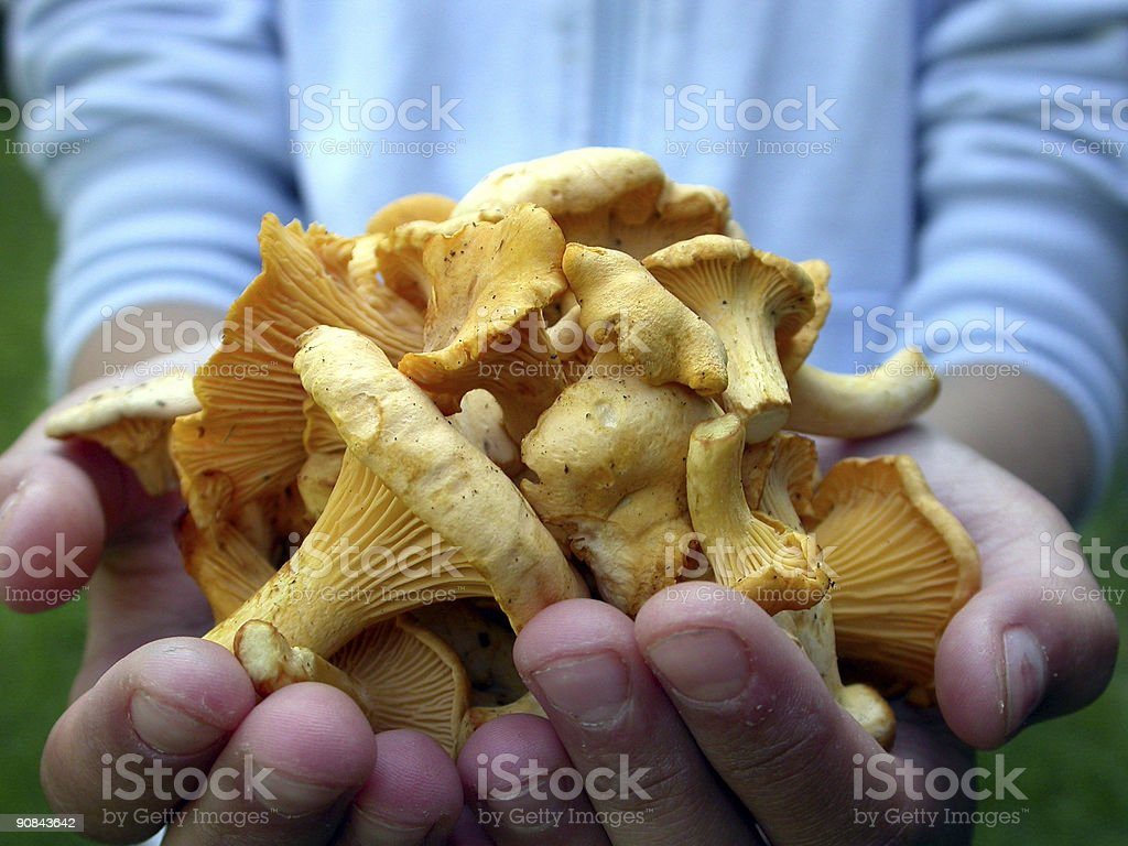 Chanterelles in Hands royalty-free stock photo