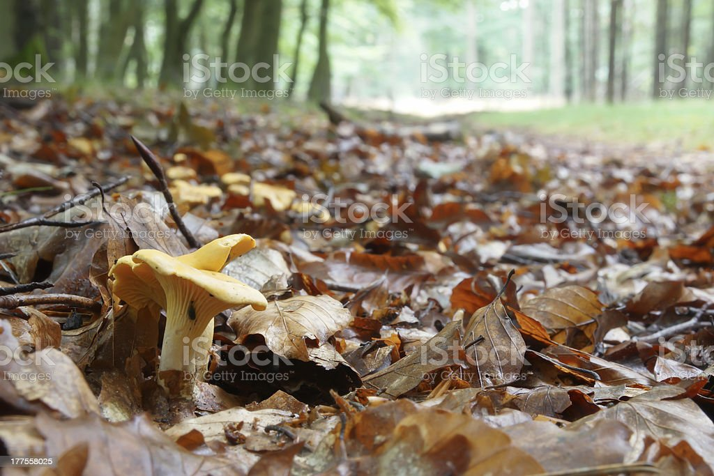 Chanterelles in the Forrest stock photo