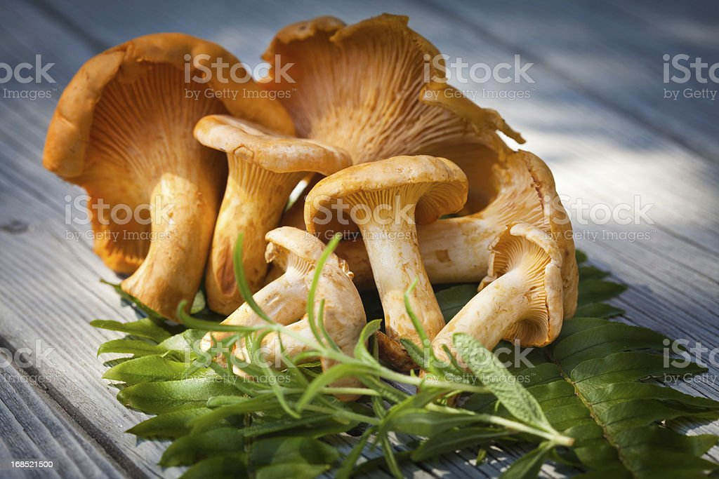 Chanterelles stock photo