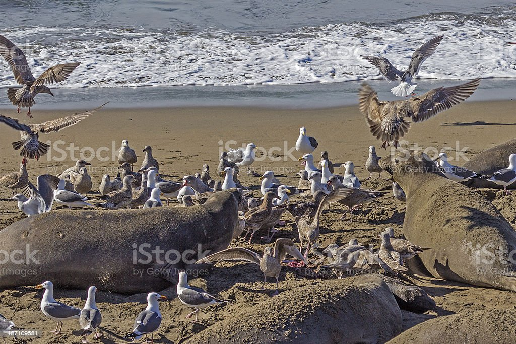Chaos at the Elephant Seal rookery stock photo