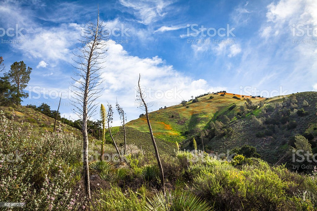 Chaparral Yucca, Sage, And California Poppies On Grass Mountain stock photo